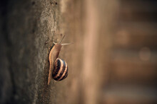 Close-up On Edible Snail, Roma...