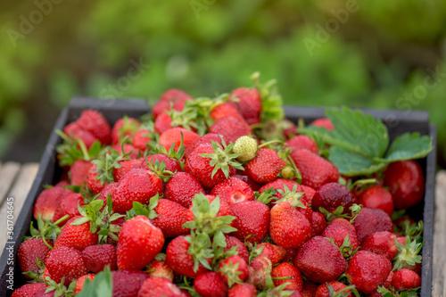 Harvesting fresh strawberries Canvas Print