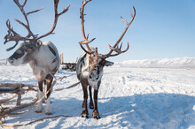 Portrait Of Northern Reindeer ...