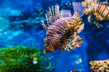 Tropical Exotic Fish Red Lionf...