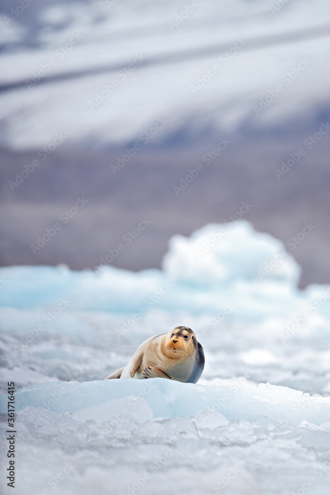 Cute seal in the Arctic snowy habitat. Bearded seal on blue and white ice in arctic Svalbard, with lift up fin. Wildlife scene in the nature.