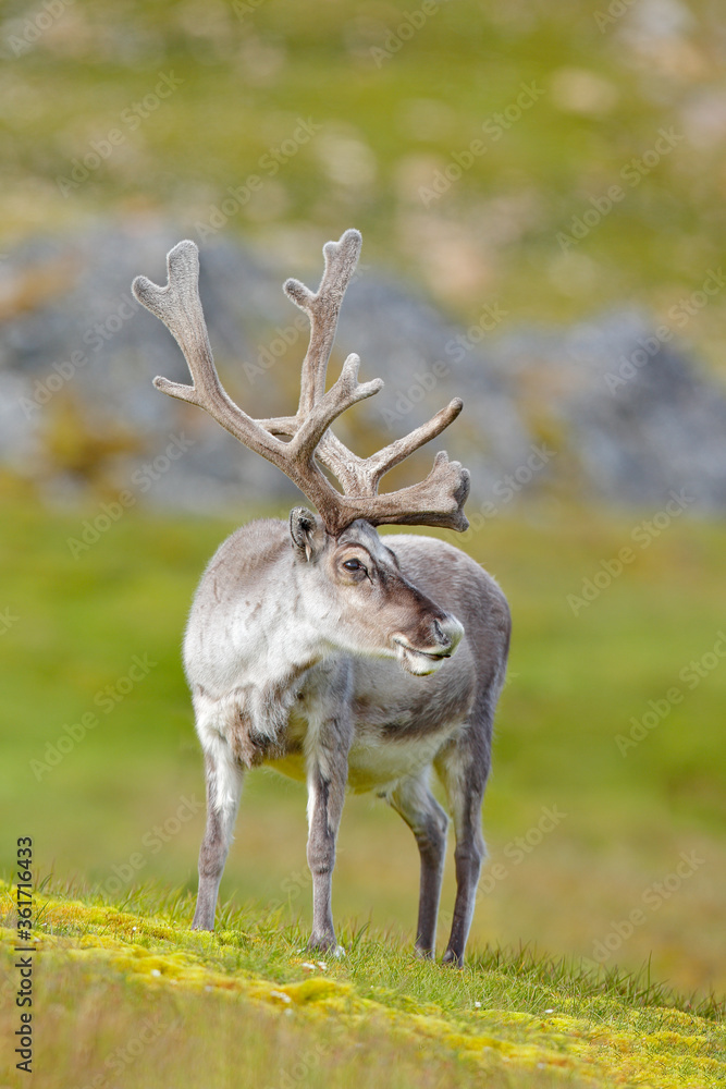 Wild animal from Norway. Reindeer, Rangifer tarandus, with massive antlers in the green grass and blue sky, Svalbard, Norway. Wildlife scene from north of Europe.