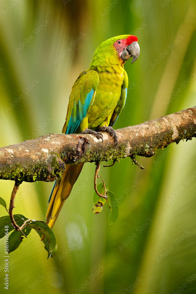 Ara ambigua, green parrot Great-Green Macaw on tree. Wild rare bird in the nature habitat, sitting on the branch in Costa Rica. Wildlife scene in tropic forest. Dark forest with macaw parrot.