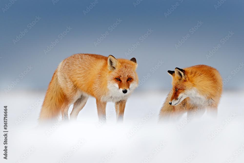 Fototapeta Red fox in white snow. Cold winter with orange fur fox. Hunting animal in the snowy meadow, Japan. Beautiful orange coat animal nature. Wildlife Europe. Detail close-up portrait of nice fox.