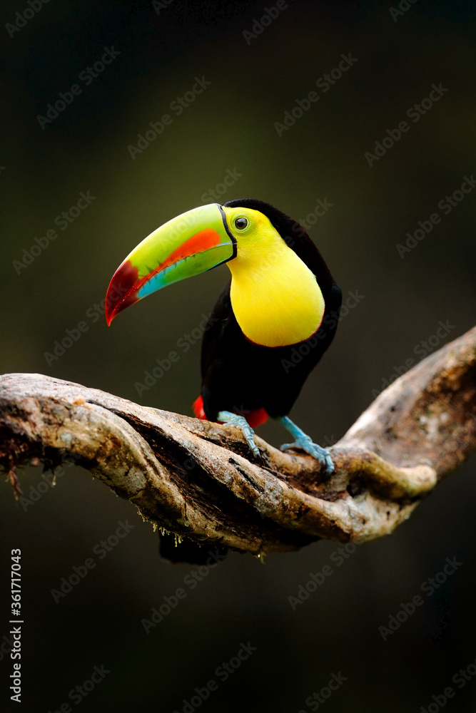 Fototapeta Keel-billed Toucan, Ramphastos sulfuratus, bird with big bill sitting on branch in the forest, Costa Rica. Nature travel in central America. Beautiful bird in nature habitat.