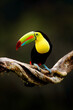 Keel-billed Toucan, Ramphastos sulfuratus, bird with big bill sitting on branch in the forest, Costa Rica. Nature travel in central America. Beautiful bird in nature habitat.