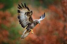 Autumn Wildlife, Bird Of Prey Common Buzzard, Buteo Buteo, Flight On Coniferous Spruce Tree Branch. Wildlife Scene From The Nature. Landing On Spruce Tree. Buzzard Fly In The Forest.
