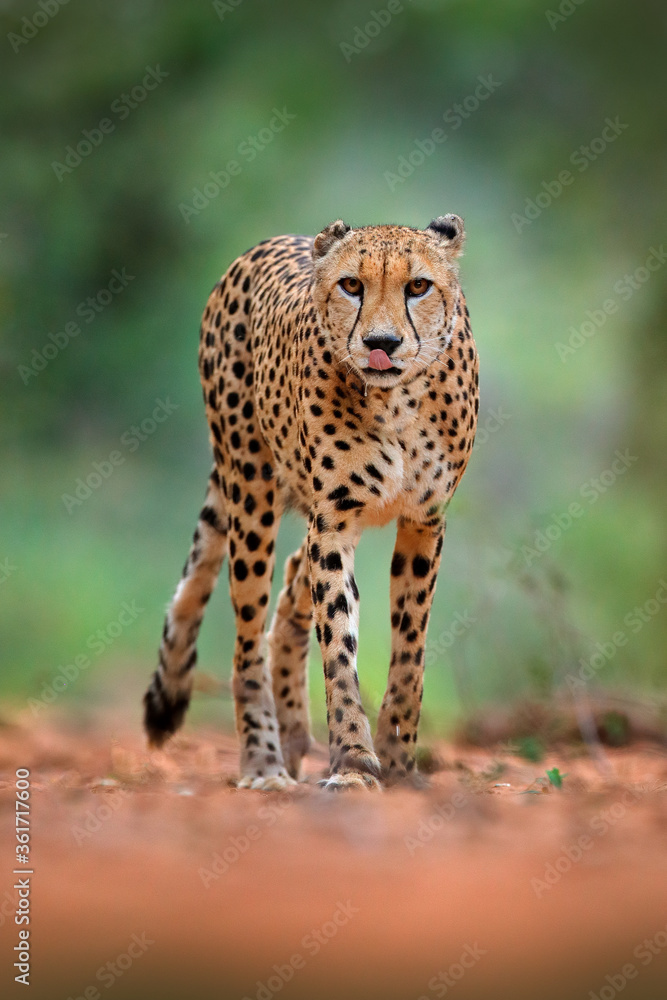 Fototapeta Cheetah, Acinonyx jubatus, walking wild cat. Fastest mammal on the land, Botswana, Africa. Cheetah on gravel road, in forest. Spotted wild cat in nature habitat, Okavango.