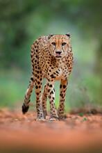 Cheetah, Acinonyx Jubatus, Wal...