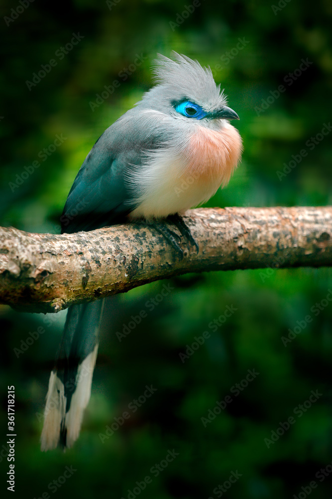 Couna, Coua cristata, rare grey and blue bird with crest, in nature habitat, sitting on the branch, Madagascar. Birdwatching in Africa. Crested Couna in the dark tropic forest.