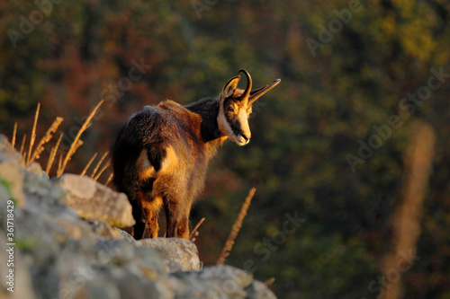Autumn forest with Chamois on the hill, orange trees in background, Studenec hill, Czech Republic. Wildlife scene with animal.