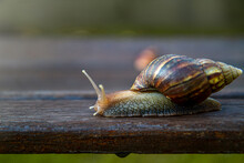 Snail Is Walking Or Crawling O...