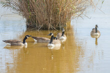 Canadian Geese In The Lake Aut...