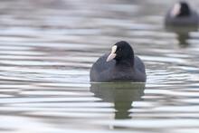 Swimming Coots (Fulica Atra) Close Up Eurasian Coots