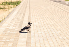 Crow Walks On The Road In The ...