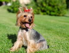 Dog Pet Yorkshire Terrier On A...