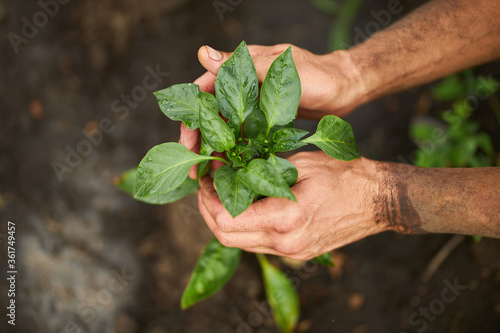 Green sprout in male hands Canvas-taulu