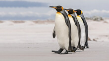 King Penguin Courtship - We Th...