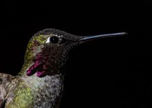 Annas Hummingbird (Calypte Anna) Portrait