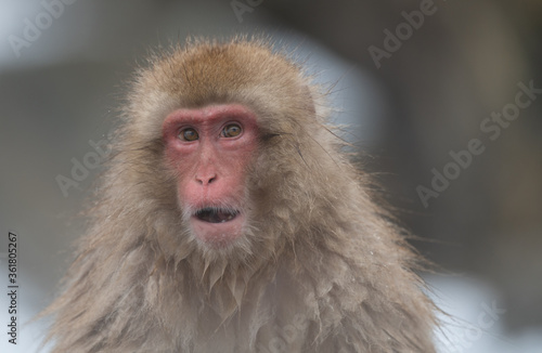 Close up of Japanese macaque, Japan