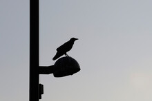 Silhouette Of A Crow Perched I...