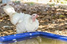 White Turkey Is Play In Garden...