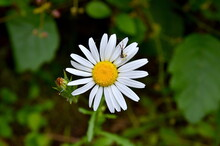 The 6 -Legged Spider And The Daisy