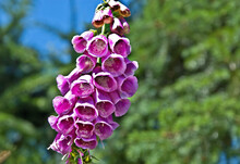 This Pink Foxglove Flower (digitalis) Is A Wildflower With Bell Shaped Flowers Hanging From A Main Stalk.  Closeup Of This Natural Plant.