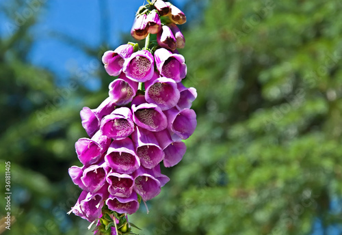 Photo This pink foxglove flower (digitalis) is a wildflower with bell shaped flowers hanging from a main stalk