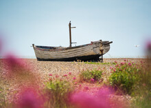 Abandoned Fishing Boat On Aldeburgh Beach With Flowers In The Foreground. Aldeburgh, Suffolk. UK