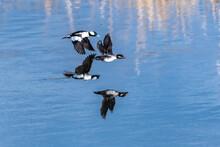Male And Female Bufflehead Ducks (Bucephala Albeola) In Flight.