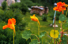 Capuchin Cress, Tropaeolum Plant In Different Colors Against A Natural Green Background
