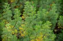 Botanical Collection Of Medicinal And Cosmetic Plants And Herbs, Artemisia Abrotanum Or Southernwood, Lad's Love Plant