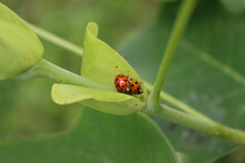 Two Harlequin Ladybirds Mating...