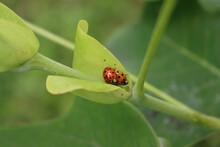 Two Harlequin Ladybirds Mating On A Green Leaf. Harmonia Axyridis