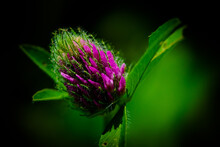 Bright Clover Flower, Close-up...
