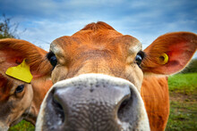 Close Up Image Of Jersey Cow Head With Shallow Depth Of Field View. Selective Focus