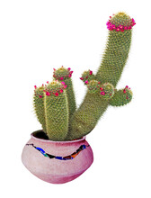 Cactus With Red Flowers In Pot