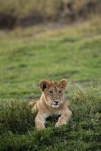 Lion Cub Relaxing On The Green Grass, Masai Mara