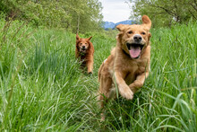 Dogs Playing In Tall Grass