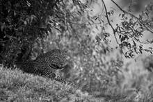 Leopard Resting Down The Bushes At Masai Mara, Kenya