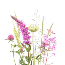 Flowering Wild Grass And Herbs Isolated On White Background. Meadow Flowers Wildflowers And Plants..