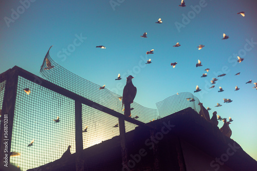 Morning sunrise pigeon birds standing over coop while other bords fly over the Brooklyn, New York City sky Wallpaper Mural