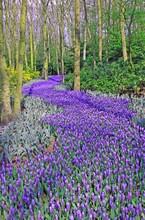 Purple Flower Path In Keukenhof Gardens, Lisse.