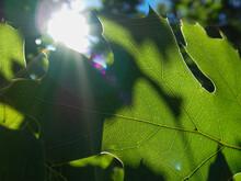 Backlit Maple Leaf