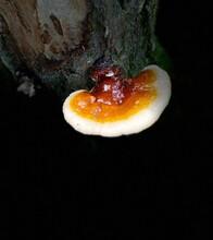 Closeup Of A Bracket Mushroom ...