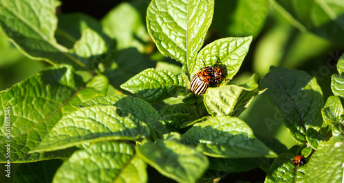 Canvas Colorado potato beetle on a green leaf of potato