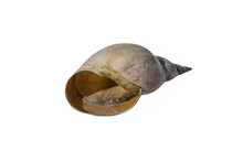 Empty Freshwater Pond Snail Shell Close-up Isolated On A White Background. Raster Clipart Of A Lymnaeidae Snail House