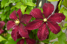 Purple Clematis In Bloom With ...