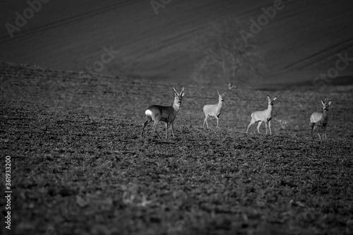 Deer with roe deer in the field